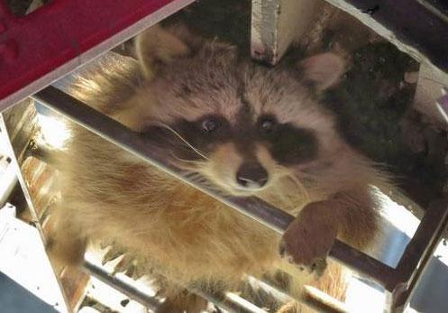 Raccoon-2